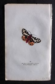 Captain Brown 1834 Antique Hand Col Moth Print. Small Tiger Moth 91 Britain